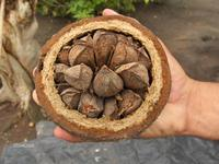 Opened pod containing Brazil nuts in shell